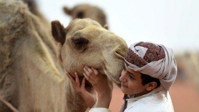 Photo of على غرار مصارعة الثيران.. مصارعة الإبل لأول مرة في السعودية