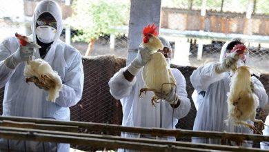 Photo of انفلونزا الطيور تتسبب في إعدام مزرعة بأكملها و 10 أعراض للإصابة بها